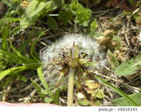 総苞片が反り返っていない関東タンポポの種 39916345