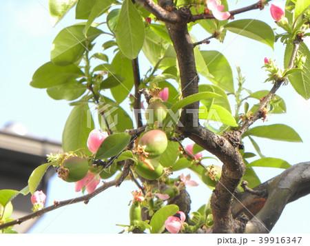 花が終わり始め実と花が見られるカリン 39916347