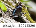 成虫越冬の蝶 39916890