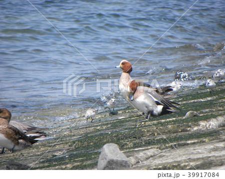 検見川浜の護岸に休むヒドリガモ 39917084