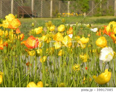 アイスランドポピーのオレンジ色の花 39917085