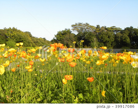 アイスランドポピーのオレンジ色の花 39917086