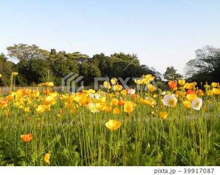 アイスランドポピーのオレンジ色の花 39917087