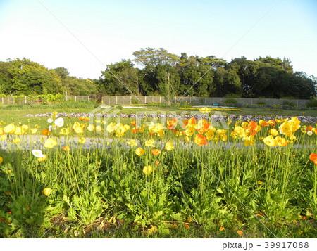 アイスランドポピーのオレンジ色の花 39917088