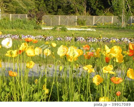 アイスランドポピーのオレンジ色の花 39917089