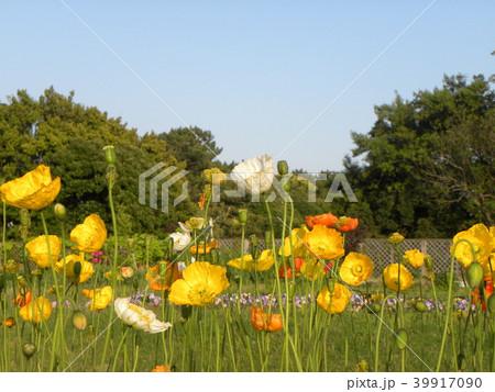 アイスランドポピーのオレンジ色の花 39917090