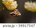 アカタテハの吸蜜 ミツマタの花 39917547