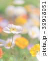 アイスランドポピー ポピー シベリアヒナゲシの写真 39918951
