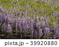 藤 新緑 花の写真 39920880