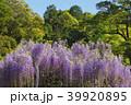 藤 新緑 花の写真 39920895