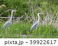 鳥 鷺 青鷺の写真 39922617