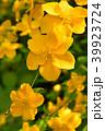 ヤマブキの花 39923724