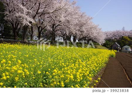 3月の尾根緑道の桜と菜の花 39923838