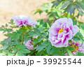 牡丹 花 植物の写真 39925544