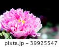 牡丹 花 植物の写真 39925547