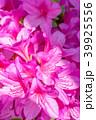 つつじ 躑躅 花の写真 39925556