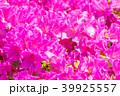 つつじ 躑躅 花の写真 39925557