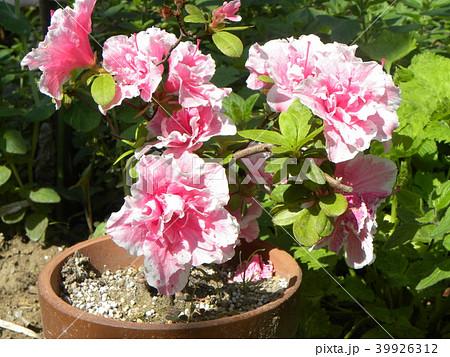 ツツジの改良種アザレアの花 39926312