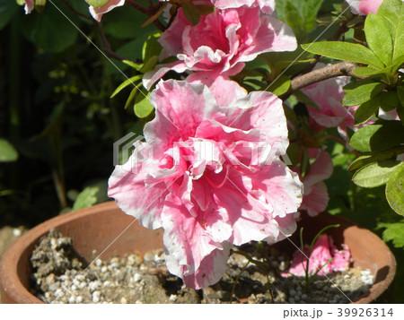 ツツジの改良種アザレアの花 39926314
