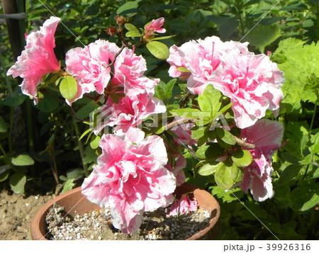 ツツジの改良種アザレアの花 39926316