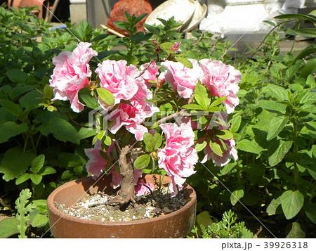 ツツジの改良種アザレアの花 39926318