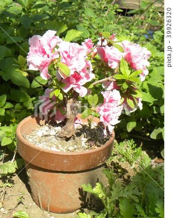 ツツジの改良種アザレアの花 39926320