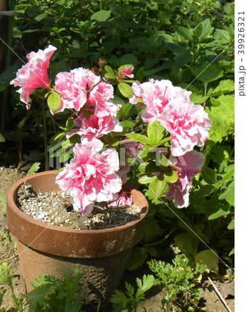 ツツジの改良種アザレアの花 39926321