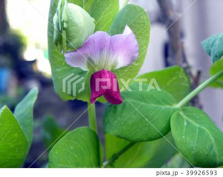 紫色の花が珍しいツタンカーメンノエンドウマメ 39926593