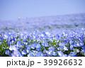 国営ひたち海浜公園 ネモフィラ 花畑の写真 39926632
