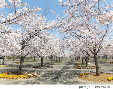 薄桃色の綺麗な花が咲いたソメイヨシノ 39929810