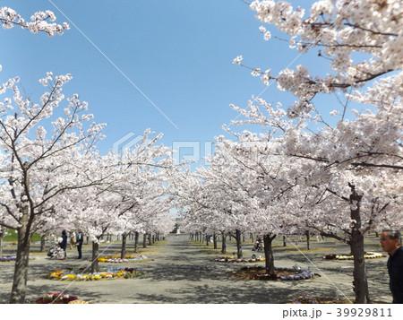 薄桃色の綺麗な花が咲いたソメイヨシノ 39929811