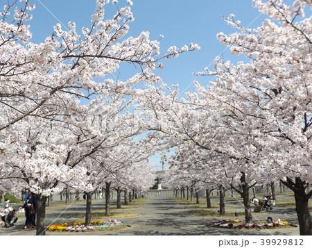 薄桃色の綺麗な花が咲いたソメイヨシノ 39929812