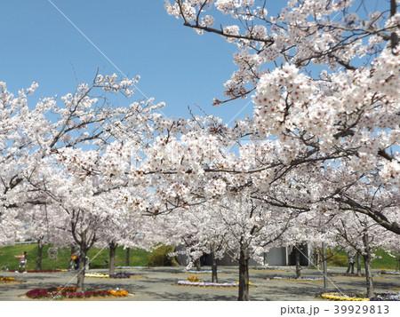 薄桃色の綺麗な花が咲いたソメイヨシノ 39929813