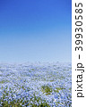花畑 ネモフィラ みはらしの丘の写真 39930585
