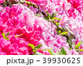 躑躅 つつじ 花の写真 39930625