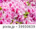 躑躅 つつじ 花の写真 39930639