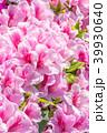 躑躅 つつじ 花の写真 39930640