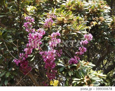 この紫色の花のつる性植物はハーデンベルギア 39930878