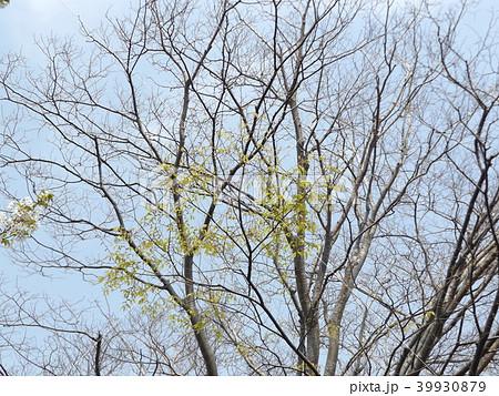葉っぱが出始めたケヤキの大木 39930879