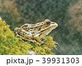トノサマガエル 千歳水族館 水彩画 39931303