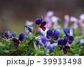 ビオラ 花 植物の写真 39933498