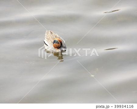 谷津干潟を悠々泳ぐコガモのオス 39934116