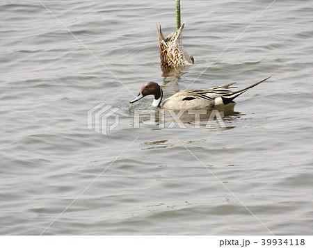 谷津干潟を給餌をしながら泳ぐオナガガモの番 39934118