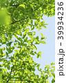 新緑 葉 植物の写真 39934236