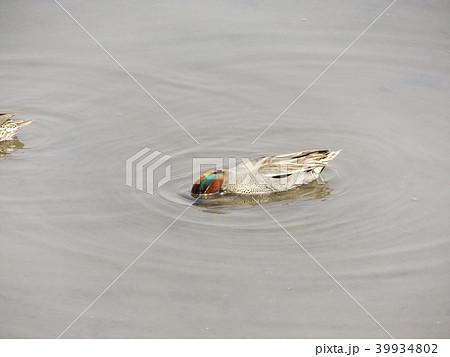 谷津干潟で給餌をしながら泳ぐコガモのオス 39934802