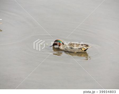 谷津干潟で給餌をしながら泳ぐコガモのオス 39934803