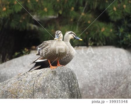 稲毛海浜公園の池で二羽のカルガモのオス 39935348