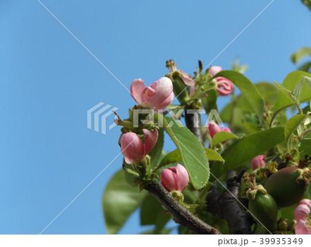 もう直ぐ実の付くカリンの桃色花 39935349