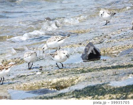 検見川浜の海岸で採餌するミユビシギ 39935705