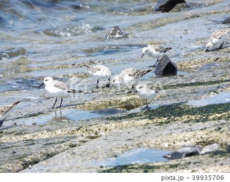 検見川浜の海岸で採餌するミユビシギ 39935706